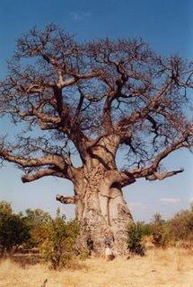 20081201205856-baobab.jpg